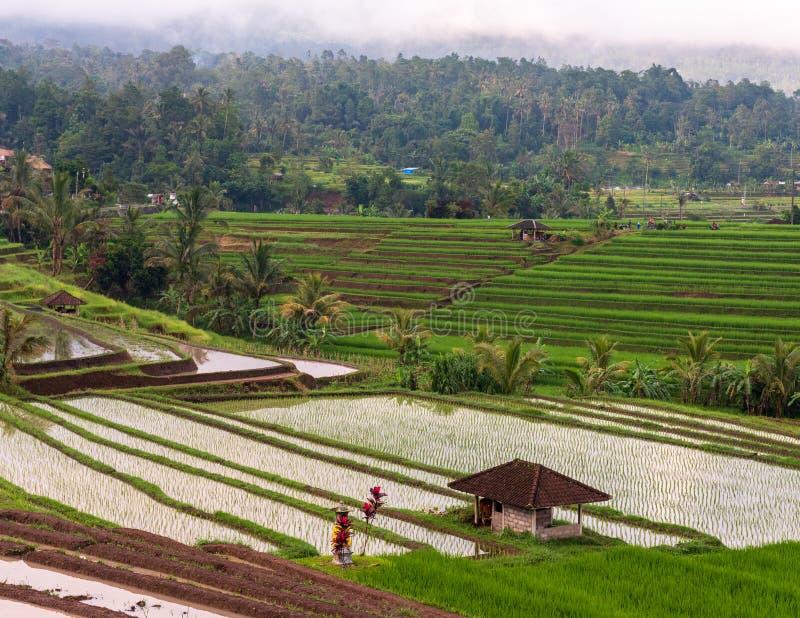 Campos del arroz antes de una tormenta fotografía de archivo