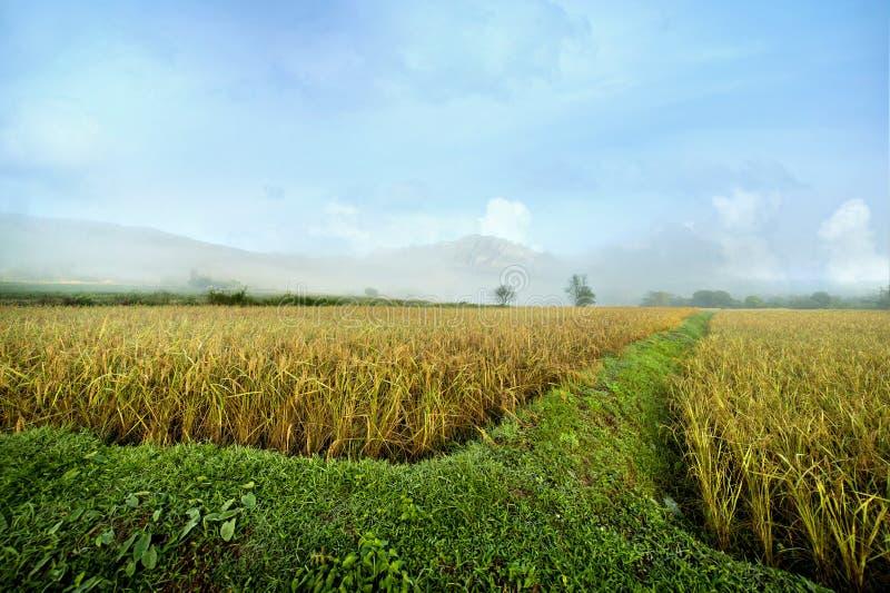 Campos del arroz cerca de las montañas imagenes de archivo