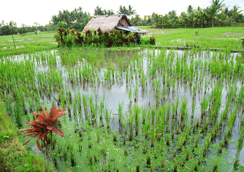 Campos del arroz de Bali con la casa del granjero imagen de archivo