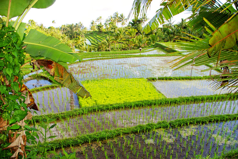 Campos del arroz del Balinese imagen de archivo