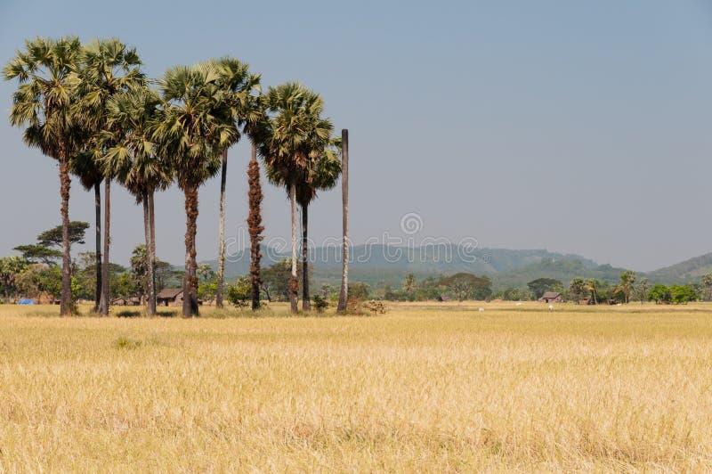 Campos del arroz en la isla de Bilu, Myanmar fotografía de archivo