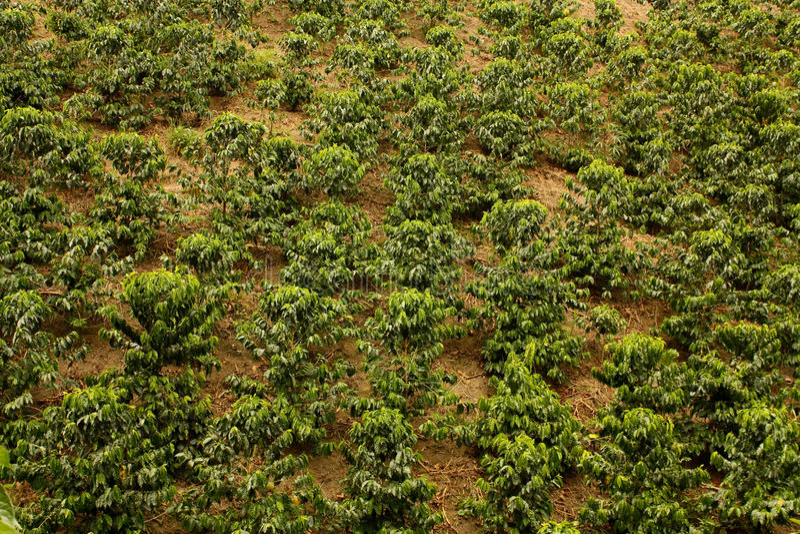 Campos del café. Colombia imagenes de archivo