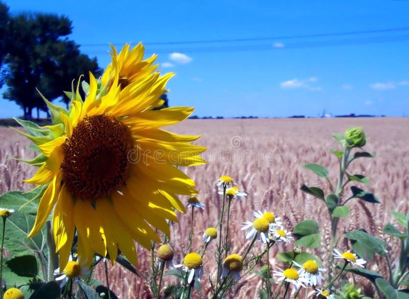 Campos del cielo azul, del girasol y de trigo imagen de archivo libre de regalías