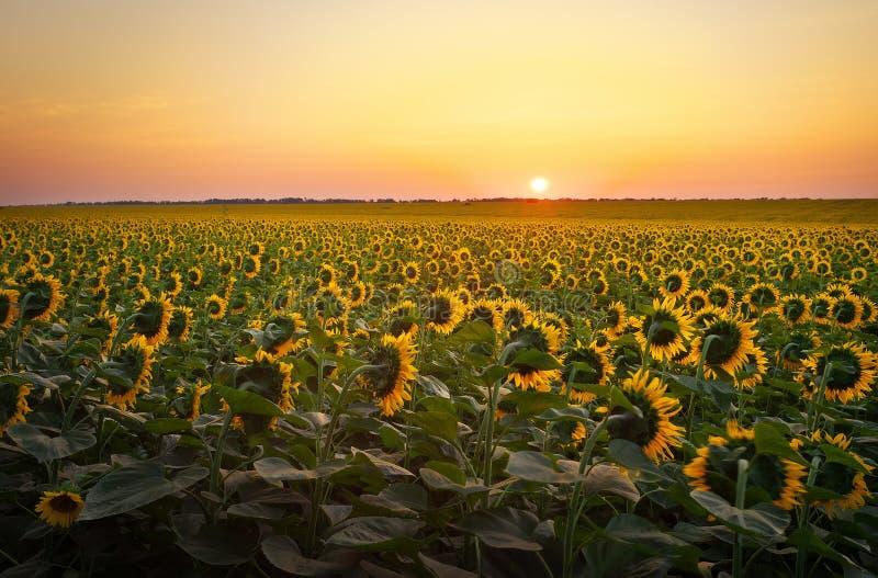 Campos del girasol durante puesta del sol imagen de archivo