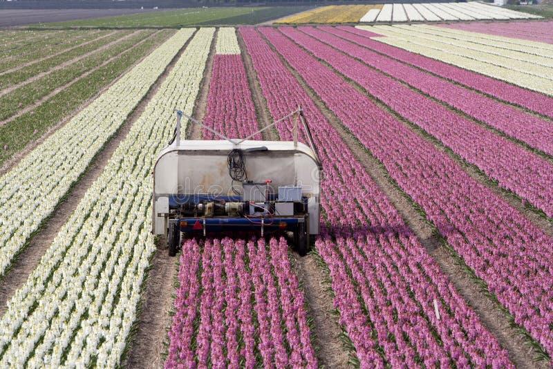 Campos del jacinto imagen de archivo libre de regalías