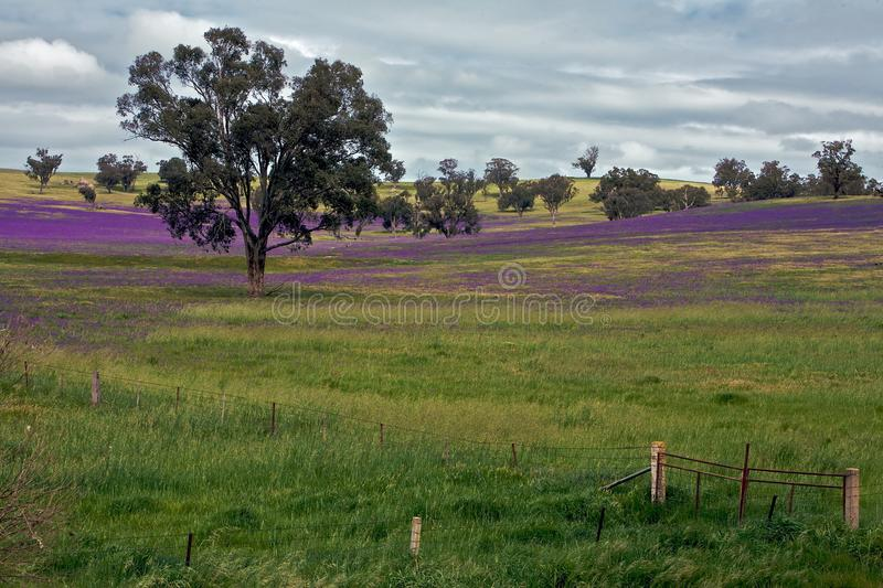 Campos del resorte y flores púrpuras en una granja imagen de archivo