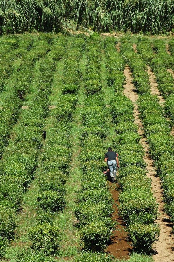 Campos del té en las Azores fotos de archivo libres de regalías
