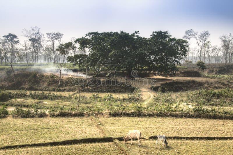 Campos del té en Srimangal, Bangladesh fotografía de archivo