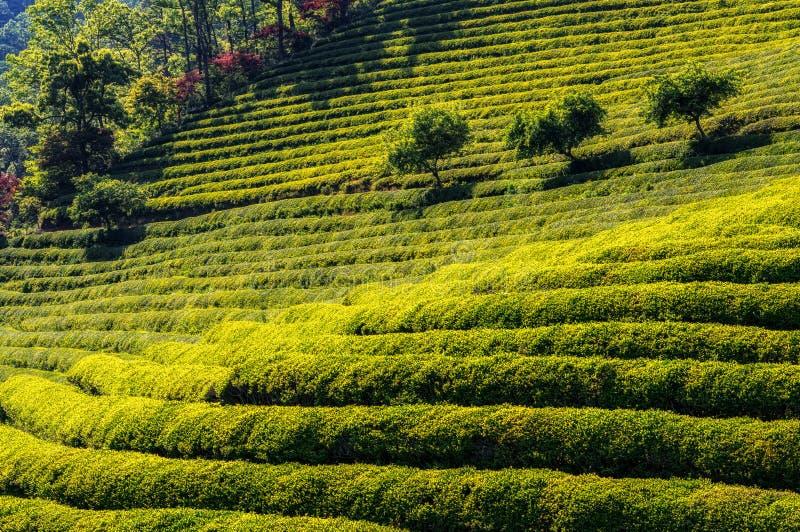 Campos del té verde foto de archivo