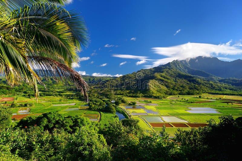 Campos del taro en el valle hermoso de Hanalei fotografía de archivo libre de regalías