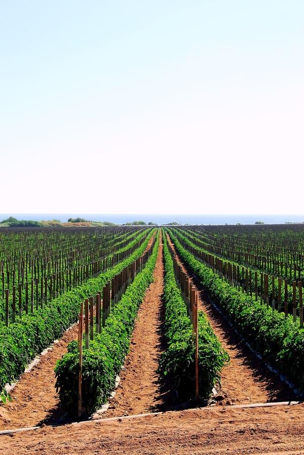 Campos del tomate en California foto de archivo