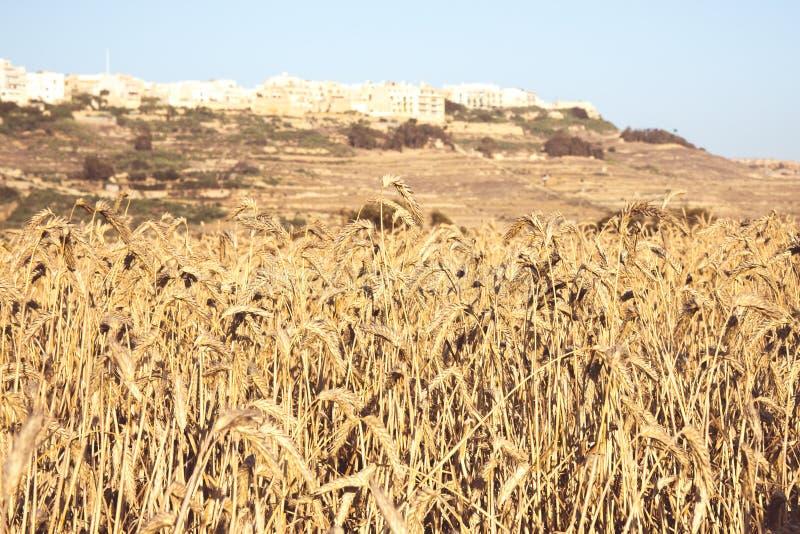 Campos del trigo en un día soleado en Malta, Gozo, vida rural en Malta imagen de archivo libre de regalías
