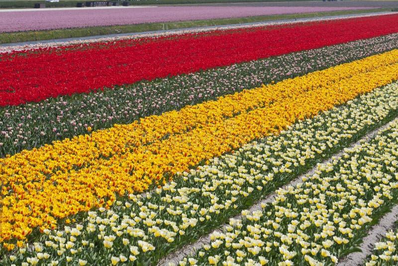 Campos del tulipán fotografía de archivo