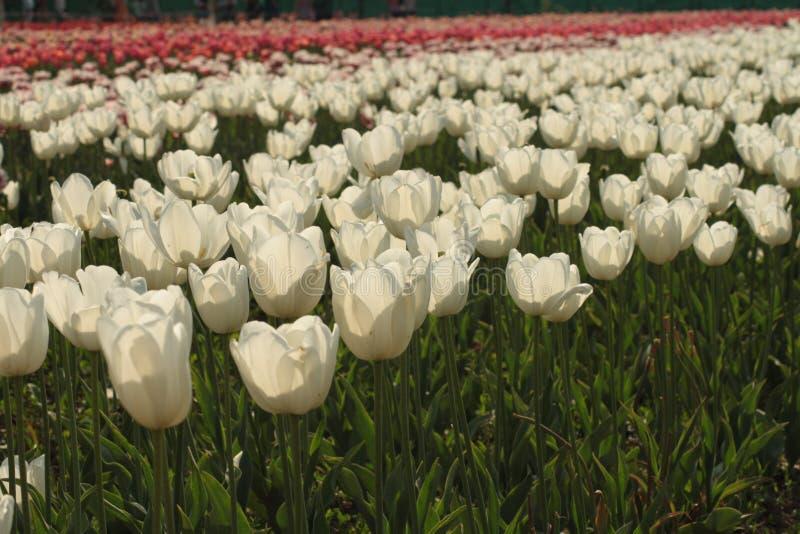 Campos del tulipán. foto de archivo