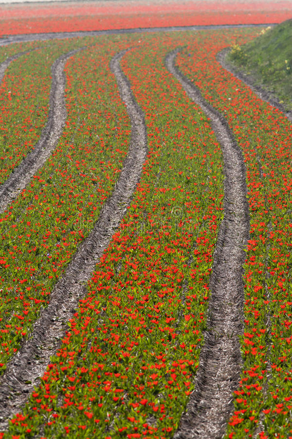 Campos del tulipán en primavera imagen de archivo