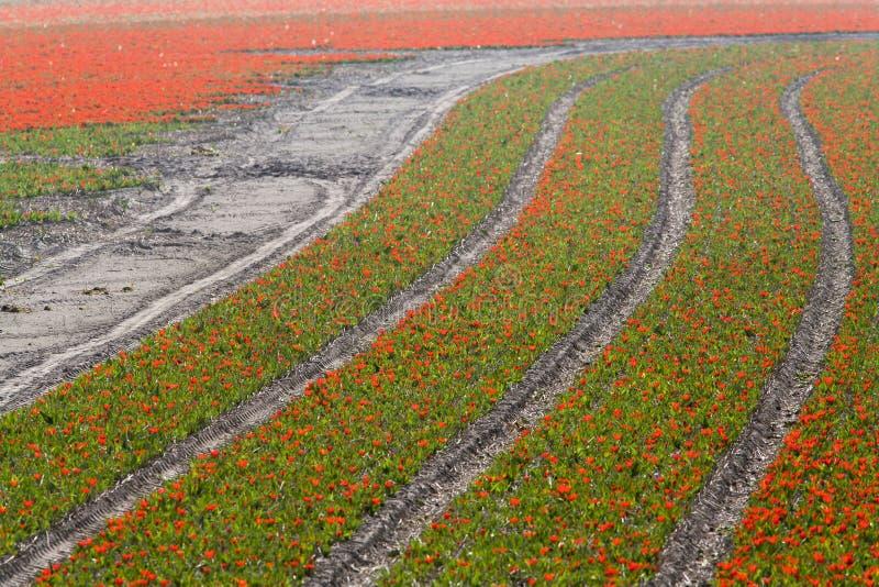Campos del tulipán en primavera imagenes de archivo