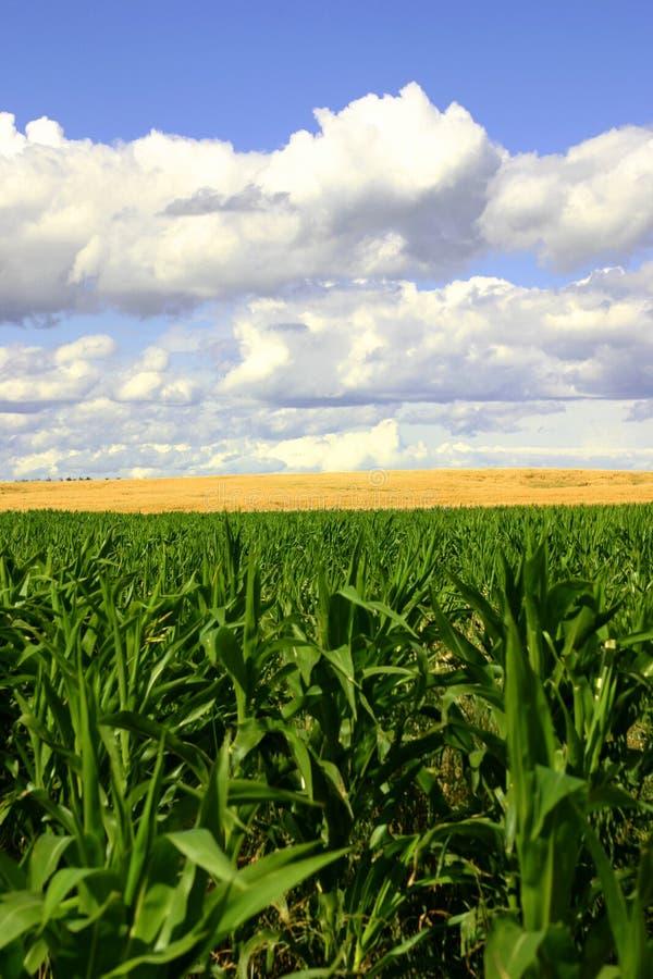 Campos del verde y del oro, cielos azules II imagen de archivo libre de regalías