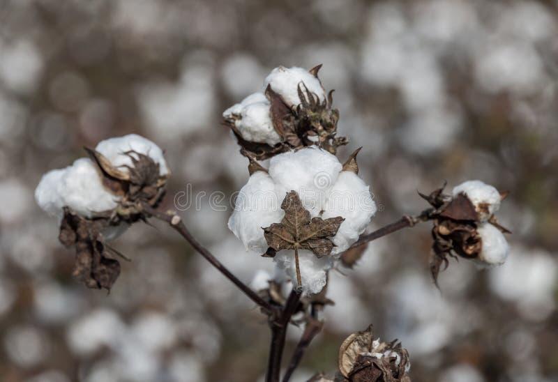 campos do algodão fotografia de stock