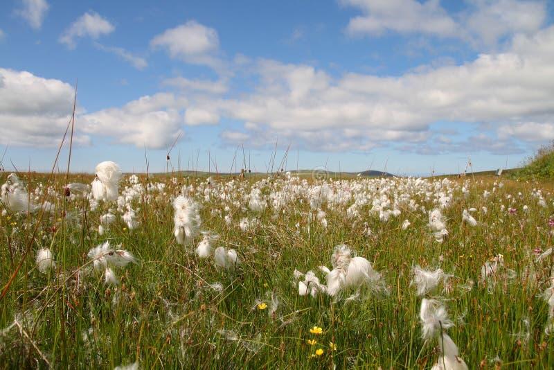 Campos do algodão foto de stock