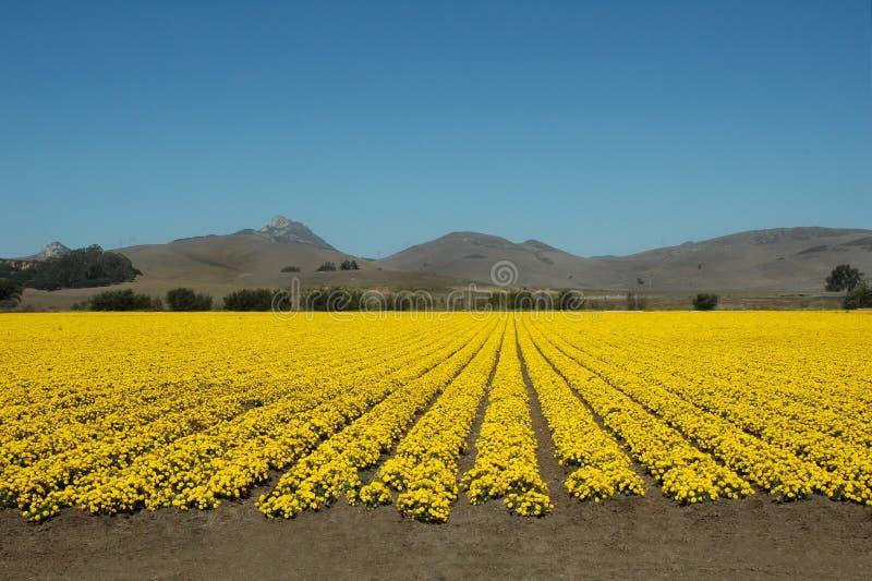 Campos do amarelo imagem de stock