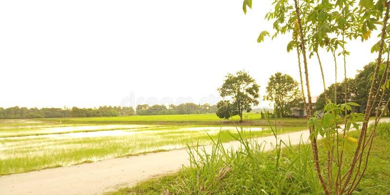 Campos do arroz fotos de stock