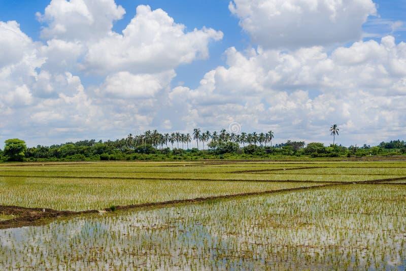 Campos do arroz foto de stock