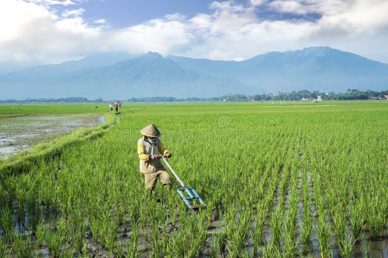 Campos do arroz das grades do fazendeiro pela ferramenta tradicional dos usos imagem de stock