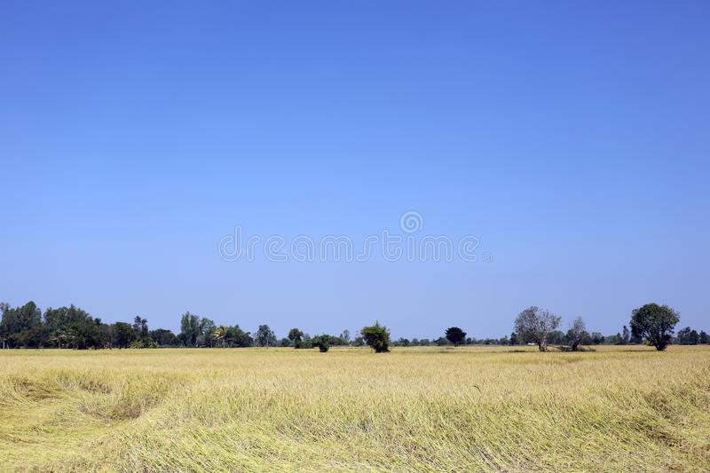 Campos do arroz em rural foto de stock royalty free