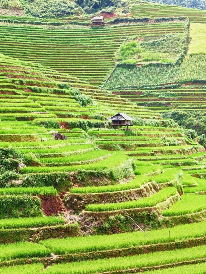Campos do arroz 'paddy' imagem de stock