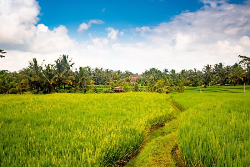 Campos do arroz perto de Ubud, Bali imagens de stock