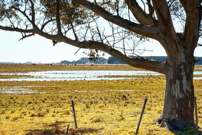 Campos do catte e do pasto da paisagem em Argentina imagens de stock