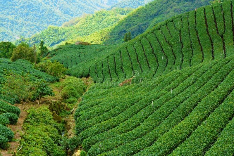 Campos do chá em Alishan Taiwan imagem de stock