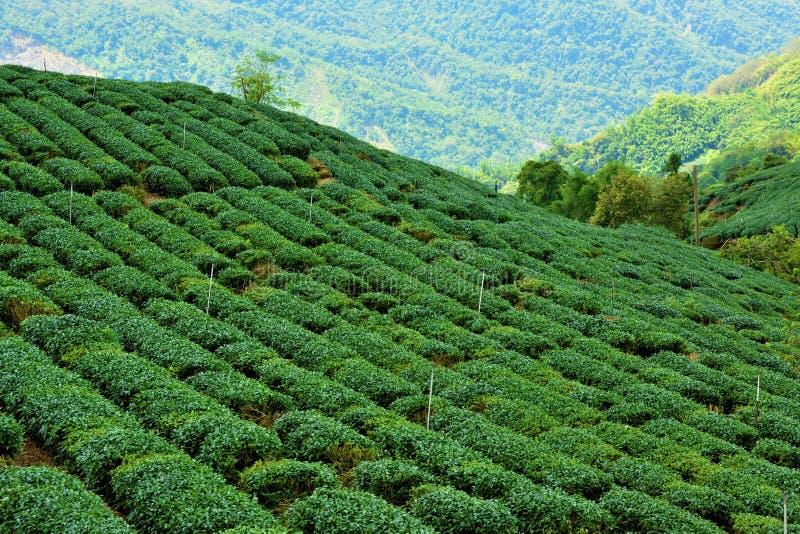 Campos do chá em Alishan Taiwan imagens de stock royalty free