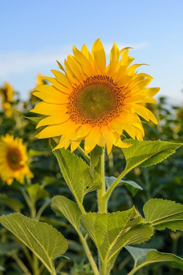 Campos do girassol durante o por do sol Composto de Digitas de um nascer do sol sobre um campo de girassóis amarelos dourados imagens de stock royalty free