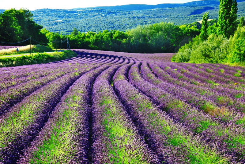 Campos do lavander blloming em Provence imagens de stock