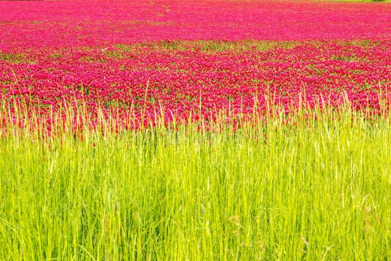 Campos do trevo vermelho contra o céu azul fotos de stock royalty free