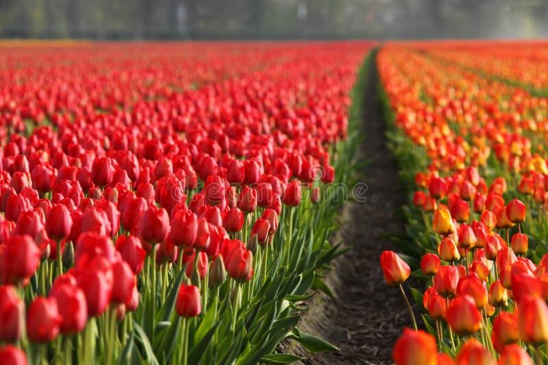 Campos do Tulip imagem de stock royalty free