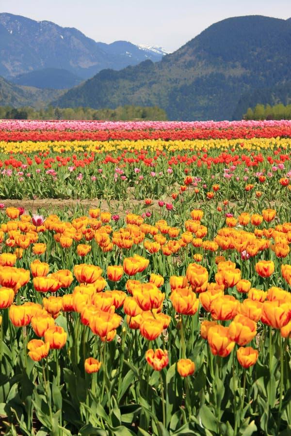 Campos do Tulip foto de stock