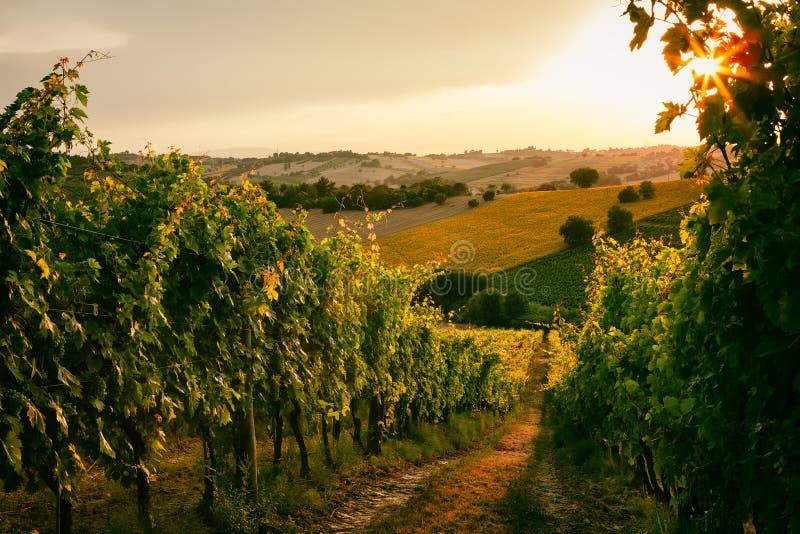 Campos do vinhedo em Marche, Itália fotos de stock royalty free