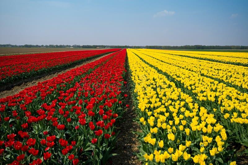 Campos dos tulips fotografia de stock