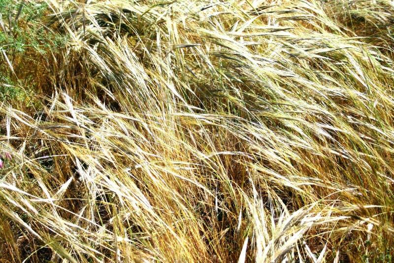 Campos dourados no vento fotos de stock royalty free