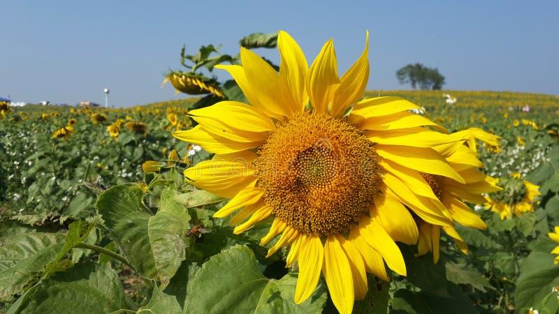 Campos e abelha do girassol foto de stock