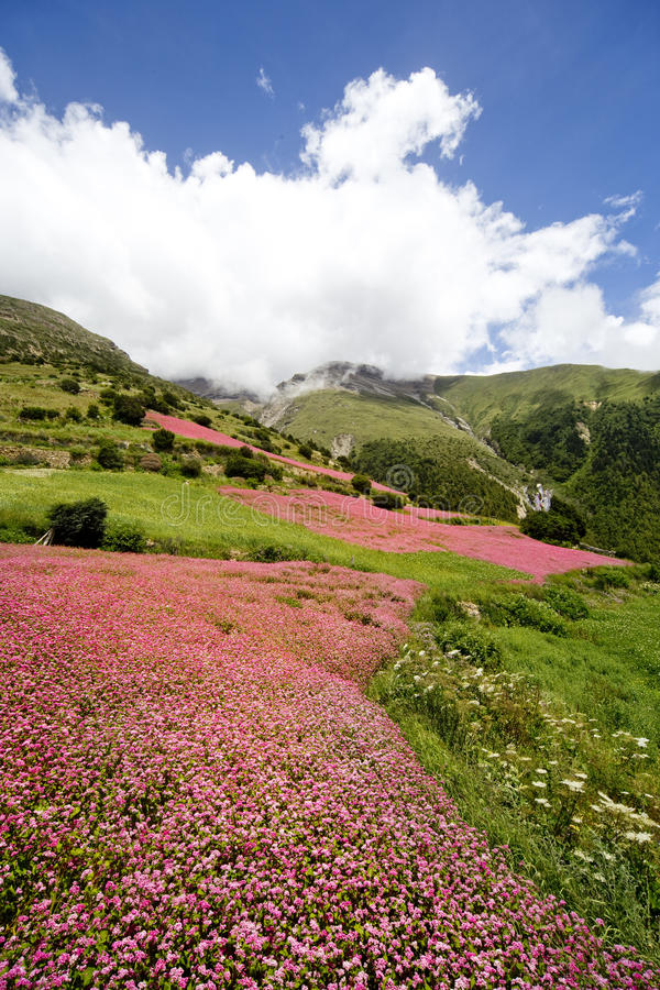 Campos florecientes de Nepal foto de archivo libre de regalías