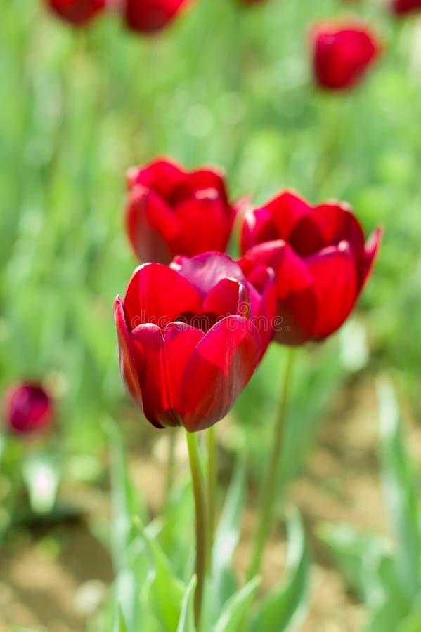 Campos florecientes del tulipán en Países Bajos, flor con los tulipanes coloridos blurrred como fondo Foco selectivo, cierre del  foto de archivo libre de regalías