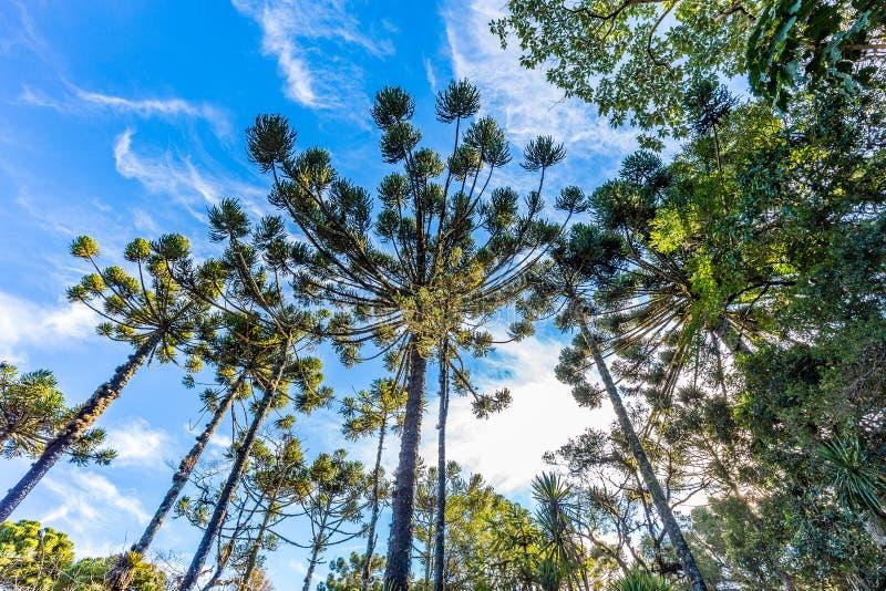 Campos font Jordao, Brésil Arbre d'araucaria, très tipical dans le CIT images stock