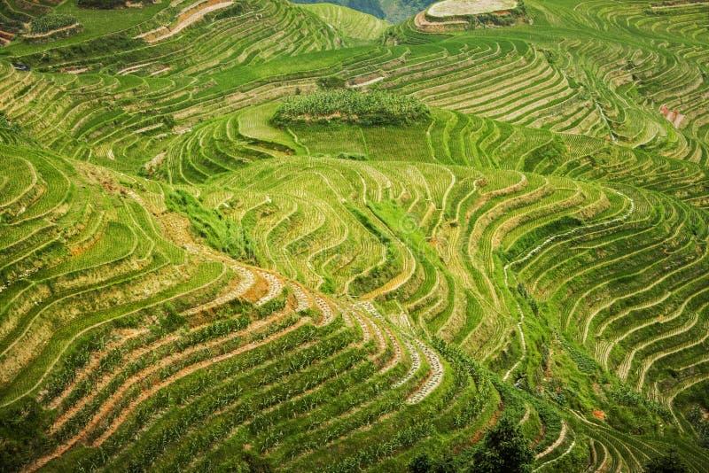 Campos hermosos del arroz del paisaje en colgante La espina dorsal del dragón de las terrazas del arroz de Longji en Longsheng Ch foto de archivo