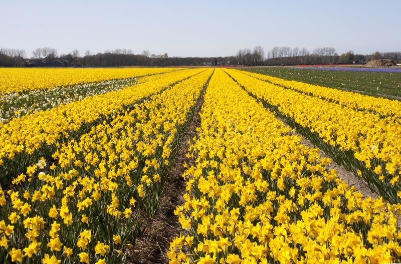 Campos holandeses del bulbo foto de archivo libre de regalías
