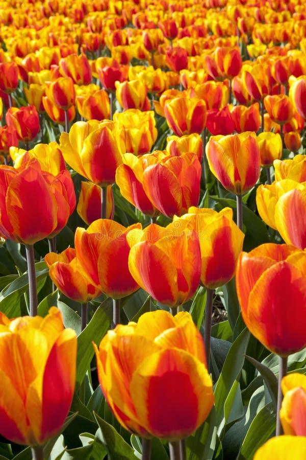 Campos holandeses do Tulip imagens de stock