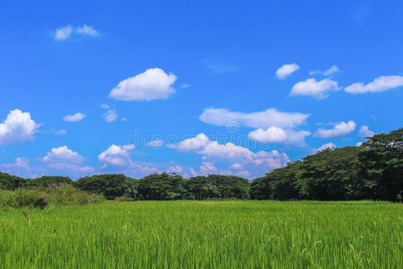 Campos luxúrias do arroz da paisagem e céu azul vívido no fundo no verão imagens de stock
