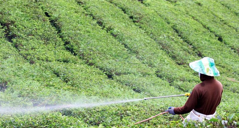 Campos molhando do chá do trabalhador em Cameron Highlans fotos de stock